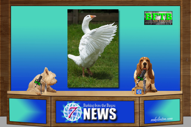 BFTB NETWoof News reports A heroic goose