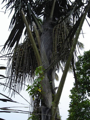 Saguer palm tree whose sweet sap is used as raw material for making palm sugar
