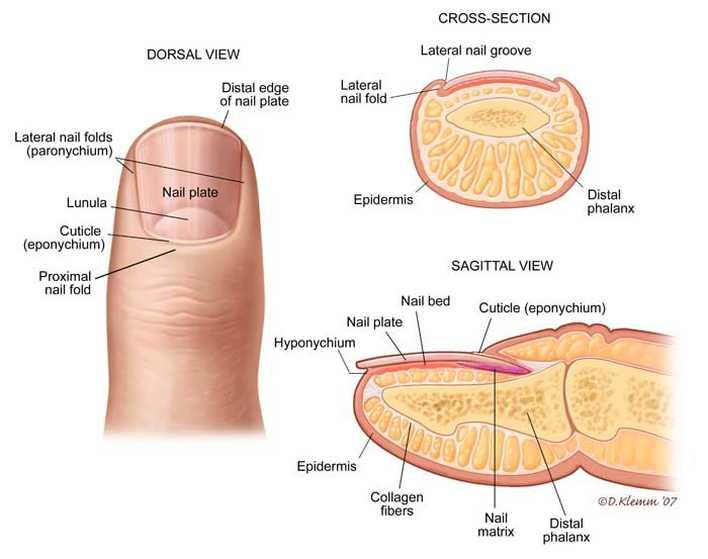 anatomi-kuku-manusia