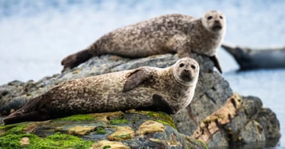 Scotland Bans The Shooting And Hunting Of Seals In A Landmark Move To Protect The Species