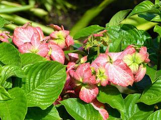Mussaenda rose - Mussaenda alicia - Mussaenda philipica x Mussaenda erytrophylla