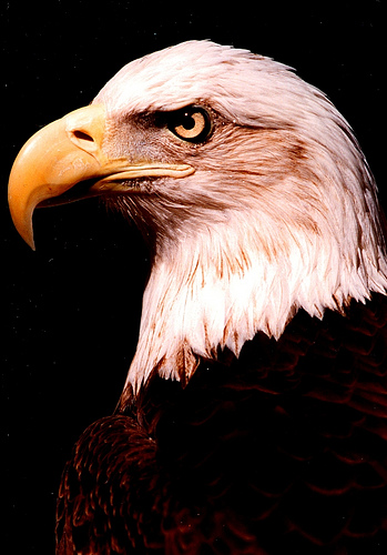Migizi bald eagle