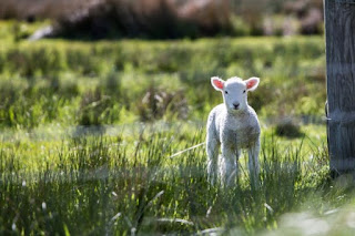 Lamb - Photo by Rod Long on Unsplash