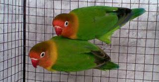 Cara Mengatasi Lovebird Ngeruji di Sangkar, Cara Mengatasi Lovebird Ngeruji, Merambat di Sangkar, Tips Cara Mudah Mengatasi Lovebird Ngeruji Di Sangkar