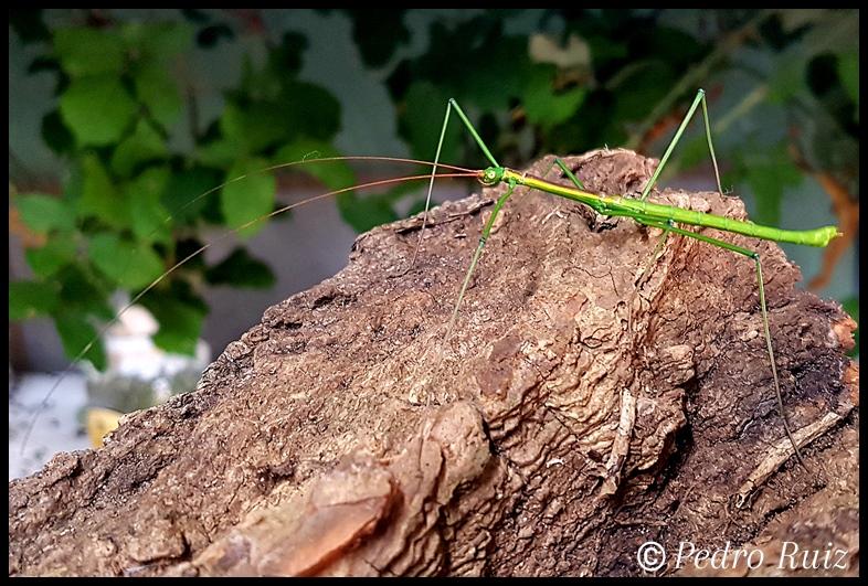 """Macho adulto de Lamachodes sp. """"Nui Chua"""", 6 cm de longitud"""