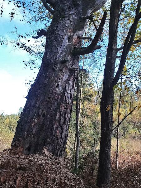 """Pesäkoloja """"kerroksissa"""" ikääntyneen puun rungossa."""