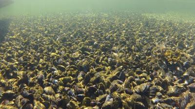 Musselbank på havsbotten