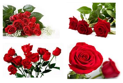Cara Budidaya Bunga Mawar secara Mudah