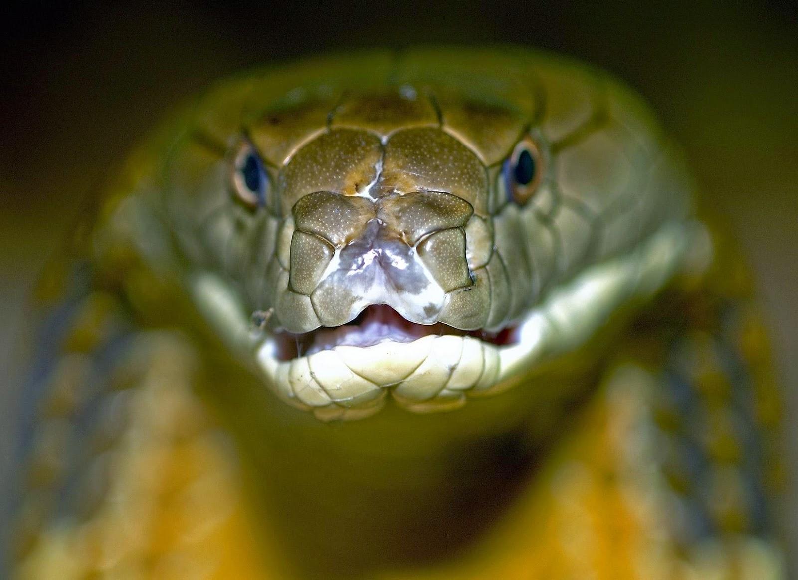 King Snake Hd Pictures Fantastic Snake Wallpaper: HD Wallpapers: King Cobra Snake HD Wallpapers