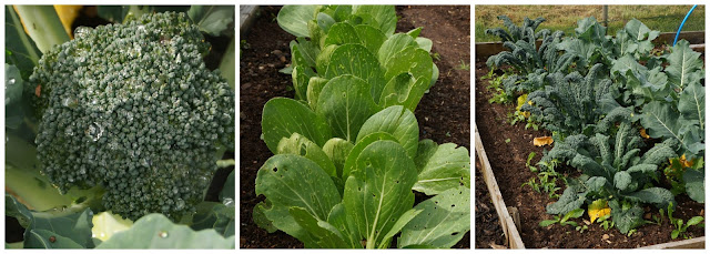 calabrese, pak choi and kale - growourown.blogspot.com - an allotment blog