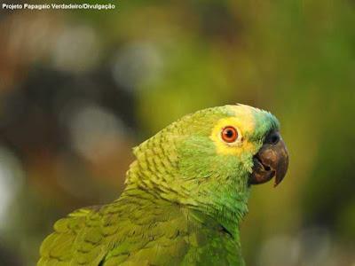 Projeto Papagaio-verdadeiro, amazona aestiva, dia das aves, 5 de outubro, tráfico de animais, captura de animais silvestres, na natureza, animais, aves do brasil, pássaros do brasil, aves, birds, qual é o dia das aves, extinção, denuncie, que bicho é, conservação