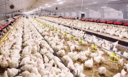 Nepal Telah Mandiri Dalam Produksi Telur dan Daging Unggas