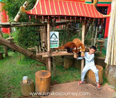 memberi-makan-panda-merah-di-istana-panda-taman-safari-indonesia-bogor