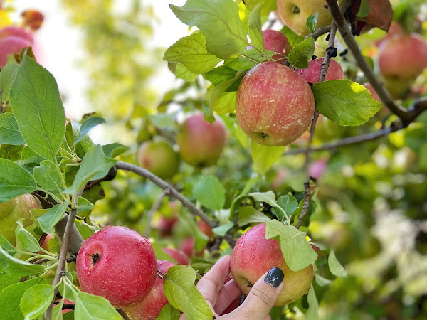 9 Apple Picking Tips to Know