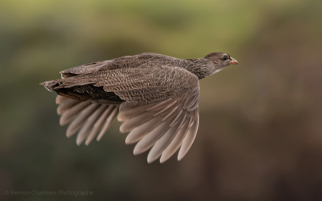 Cape Spurfowl in flight Table Bay Nature Reserve Woodbridge Island, Milnerton