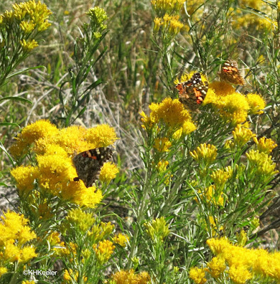 painted lady butterflies, Devil's Backbone, Loveland, CO