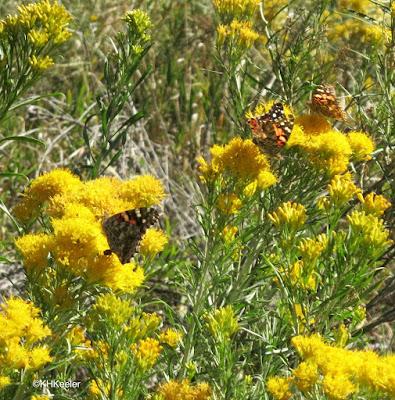painted lady butterflies, Devil's Backbone, Loveland, CO