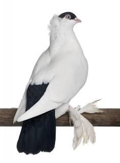 Foto Burung Merpati Polish Helmet Daftar Harga Burung Hias Terbaru