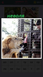 тигр в неволе и человек за ограждением дает кусок мяса