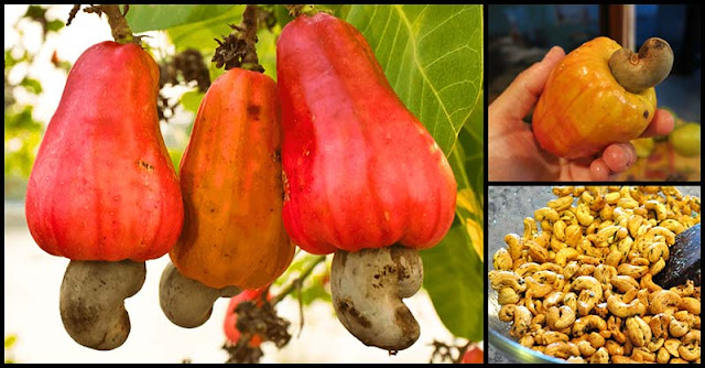Cashew Nut: An Anti-Cancer Food With Numerous Health Benefits