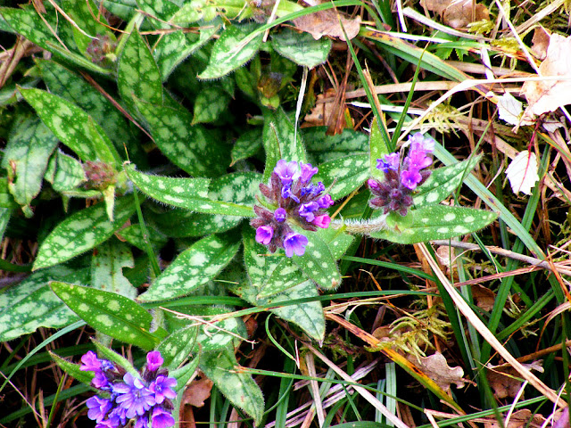Long-leaved Lungwort Pulmonaria longifolia.  Indre et Loire, France. Photographed by Susan Walter. Tour the Loire Valley with a classic car and a private guide.