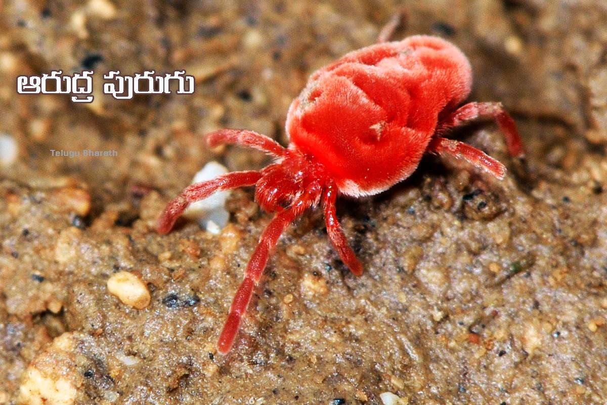 ఆరుద్ర పురుగుతో పర్యావరణ హితం - Arudra Purugu, Red velvet mite
