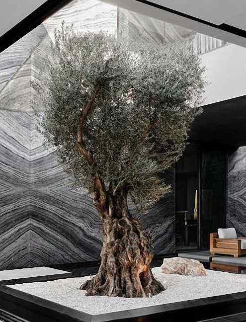 Oliveira de 150 anos viajou da Toscana até Beverly Hills na Califórnia