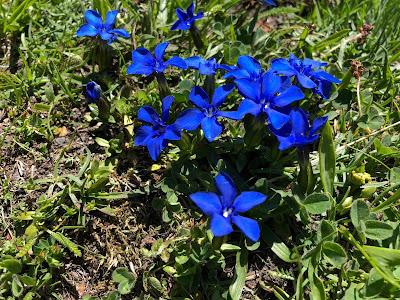 [Gentianaceae] Gentiana verna – Spring Gentian (Genziana primaverile).