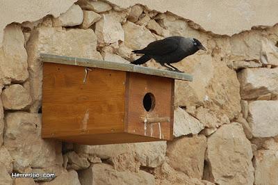 Gralla (Corvus monedula) a una caixa niu