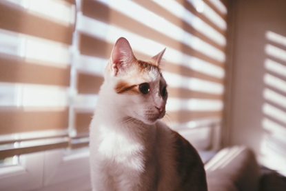 ginger and white cat sitting on windowsill with blinds closed