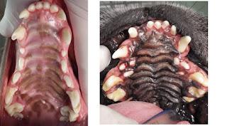 arcada dentária de cães
