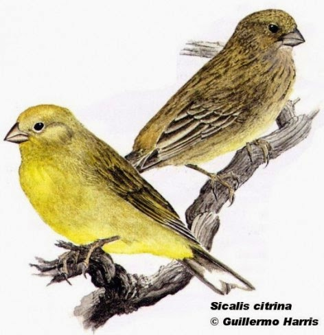 Stripe tailed Yellow finch