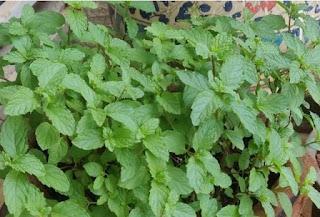 tanaman mint pengusir nyamuk