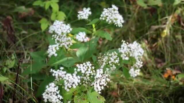 Most Poisonous Plants, White Snakeroot