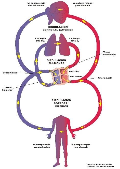 Circulación función de sistémica la pulmonar