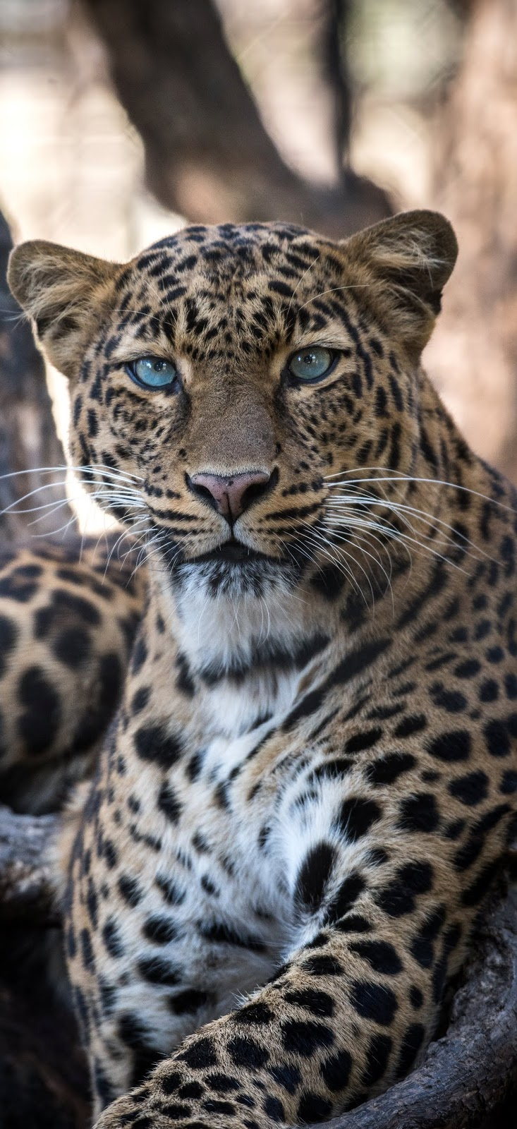 Portrait of a jaguar.