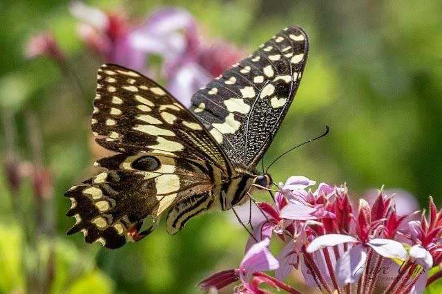 Citrus Swallowtail Butterfly perched  Kirstenbosch
