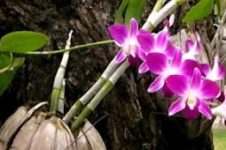 4 Cara Menanam dan Merawat Bunga Anggrek Agar Tumbuh Lebat dan Tahan Lama