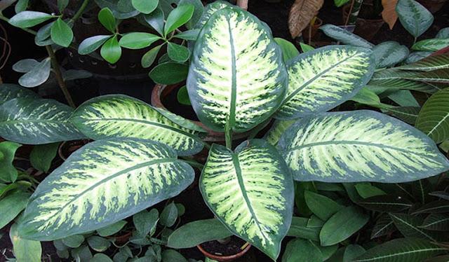 Alerta: Se tens essa planta em casa é bom ter muito cuidado, pois ela já matou mais de 64 mil pessoas no mundo! Plantas_venenosas_2