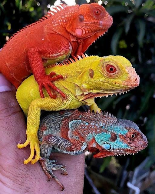 Colorful Iguanas