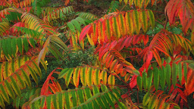Rhus Typhina (Zumaque de Virginia)