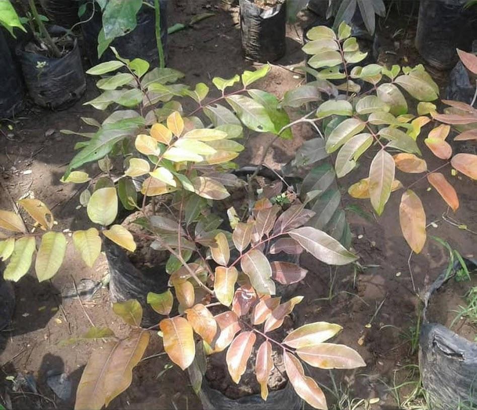 Tanaman Bibit Buah kelengkeng merah ruby longan Okulasi Cepat Berbuah Tambulapot Jawa Barat