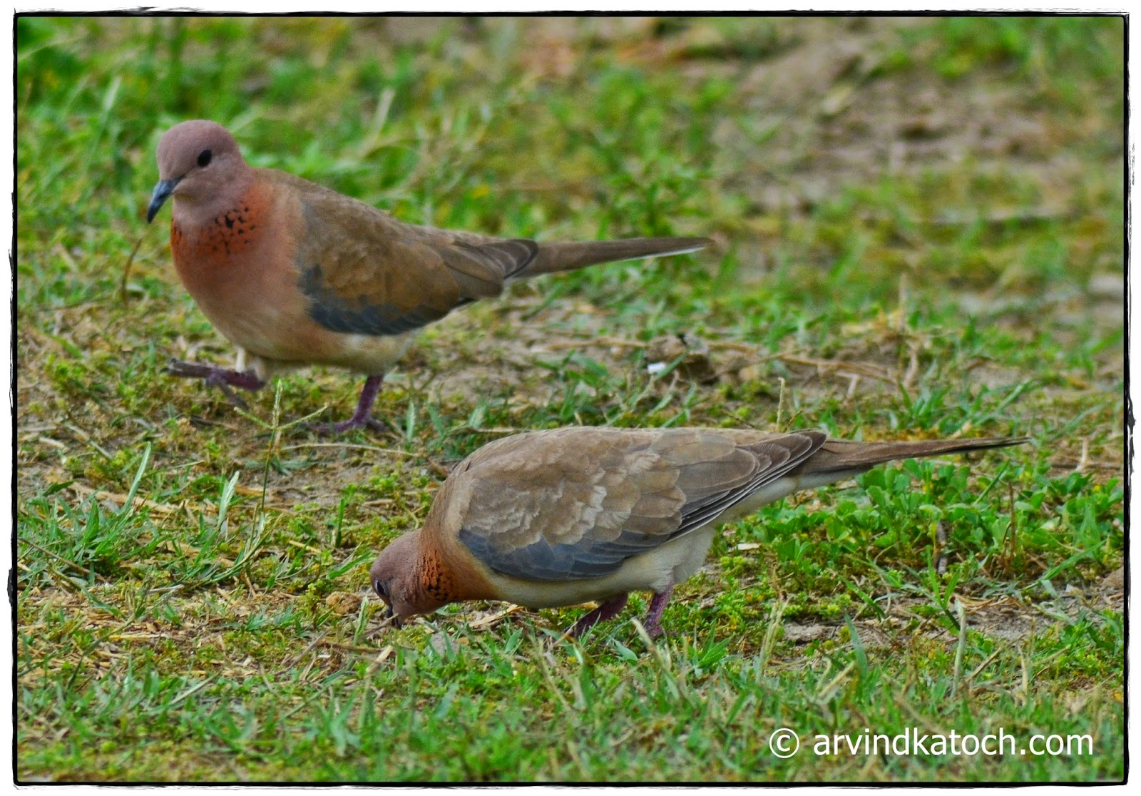 Laughing Dove,