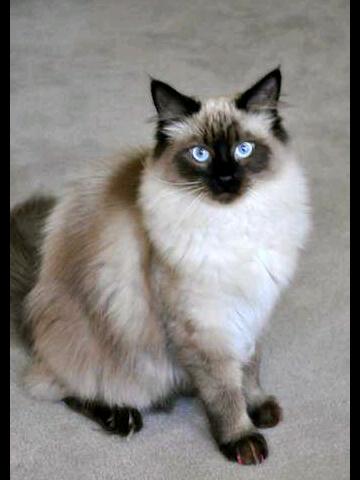 Chocolate Break Kepribadian Kucing Menurut Warna Bulunya