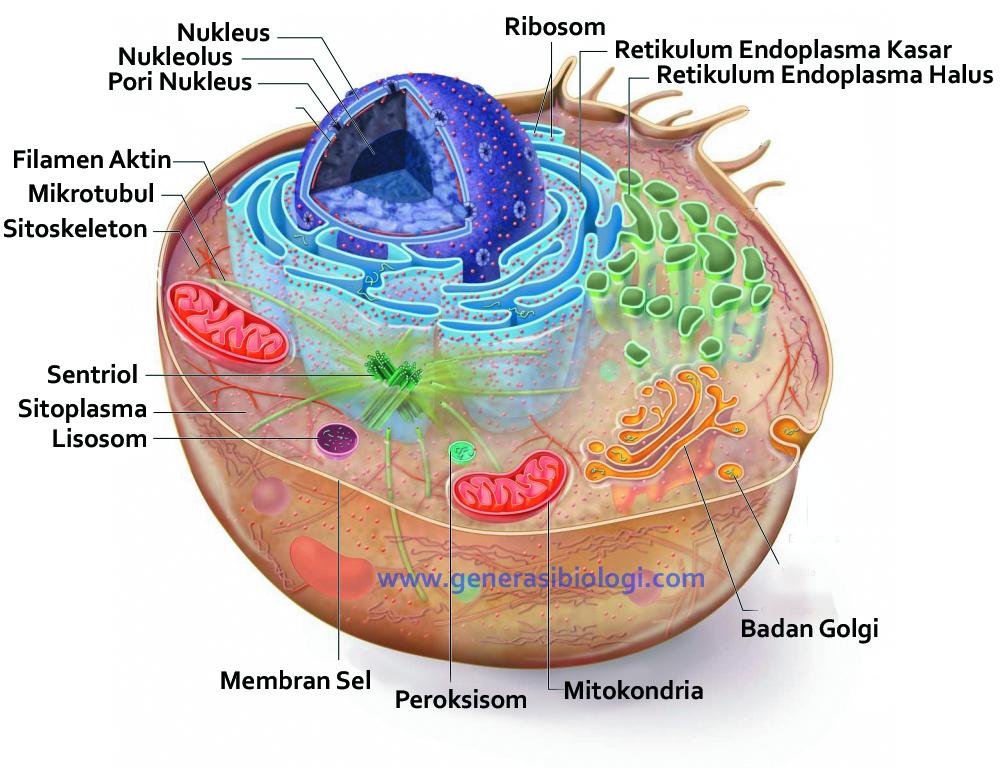 Materi Lengkap Sel Hewan Dan Sel Tumbuhan Beserta Fungsinya Generasi Biologi