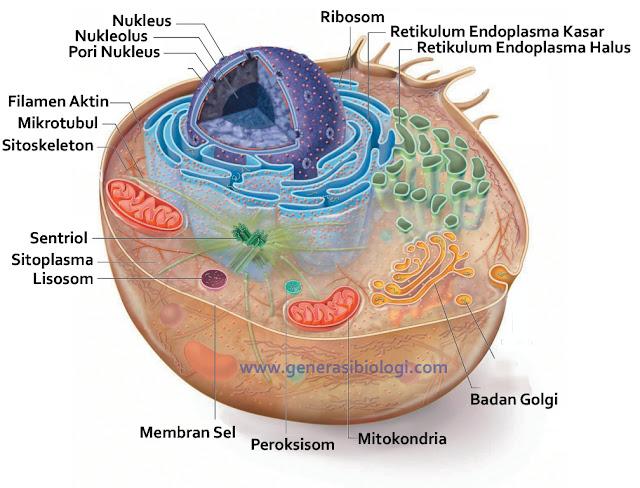 sel hewan dan tumbuhan beserta fungsinya wikipedia, sel hewan dan tumbuhan dan fungsinya, sel hewan dan tumbuhan beserta fungsi, sel hewan dan tumbuhan beserta keterangan, sel hewan dan tumbuhan beserta keterangannya, sel hewan dan tumbuhan pdf, sel hewan dan tumbuhan beserta fungsinya pdf, sel hewan dan tumbuhan beserta gambarnya, sel hewan dan tumbuhan beserta keterangan dan fungsinya, sel hewan dan tumbuhan yang dimilikinya, sel hewan dan tumbuhan beserta bagian-bagiannya, sel hewan dan tumbuhan smp, sel hewan dan tumbuhan ppt, sel hewan dan tumbuhan beserta bagiannya, sel hewan dan tumbuhan beserta penjelasannya, sel hewan dan tumbuhan beserta fungsi dan gambarnya, sel hewan dan tumbuhan perbedaan, sel hewan dan tumbuhan beserta gambar, sel hewan dan tumbuhan adalah, perbedaan sel hewan dan tumbuhan adalah, sel hewan and tumbuhan, artikel sel hewan dan tumbuhan, anatomi sel hewan dan tumbuhan, persamaan sel hewan dan sel tumbuhan adalah, organel yang terdapat pada sel hewan dan tumbuhan adalah, tiga bagian utama dari sel hewan dan tumbuhan adalah, persamaan antara sel hewan dan tumbuhan, perbandingan antara sel hewan dan tumbuhan, apakah perbedaan sel hewan dan tumbuhan