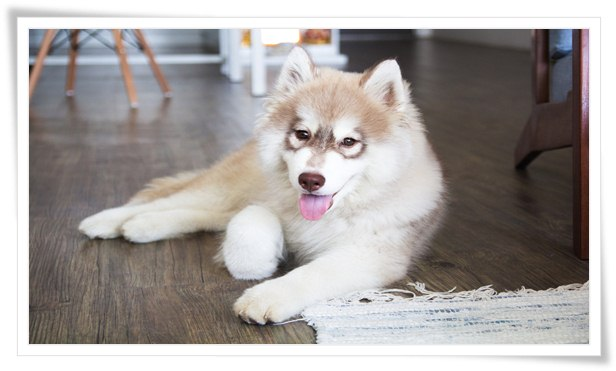 siberian husky training,siberian husky,husky training,training a husky,how to train a husky,siberian husky puppy,dog training,training a siberian husky,training siberian huskies,puppy training,training a dog,training a puppy,how to train a siberian husky,siberian huskies,crate training a dog,husky,siberian husky dog,siberian husky reunited,husky potty training,siberian husky dog training,siberian husky puppy training,husky puppy