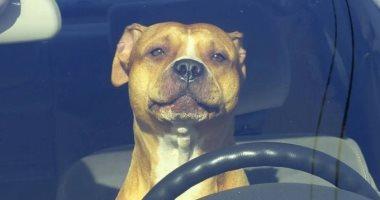 """الشرطة الأمريكية تطارد سيارة سرعتها 160 كم وتكتشف أن القائد """"كلب"""""""