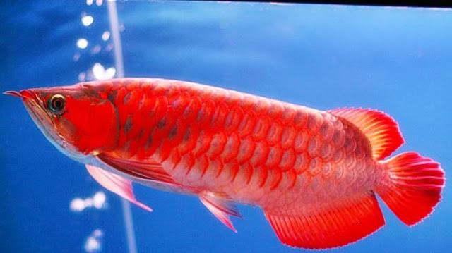 Supplier Jual Bibit Ikan Arwana Aceh Berpengalaman