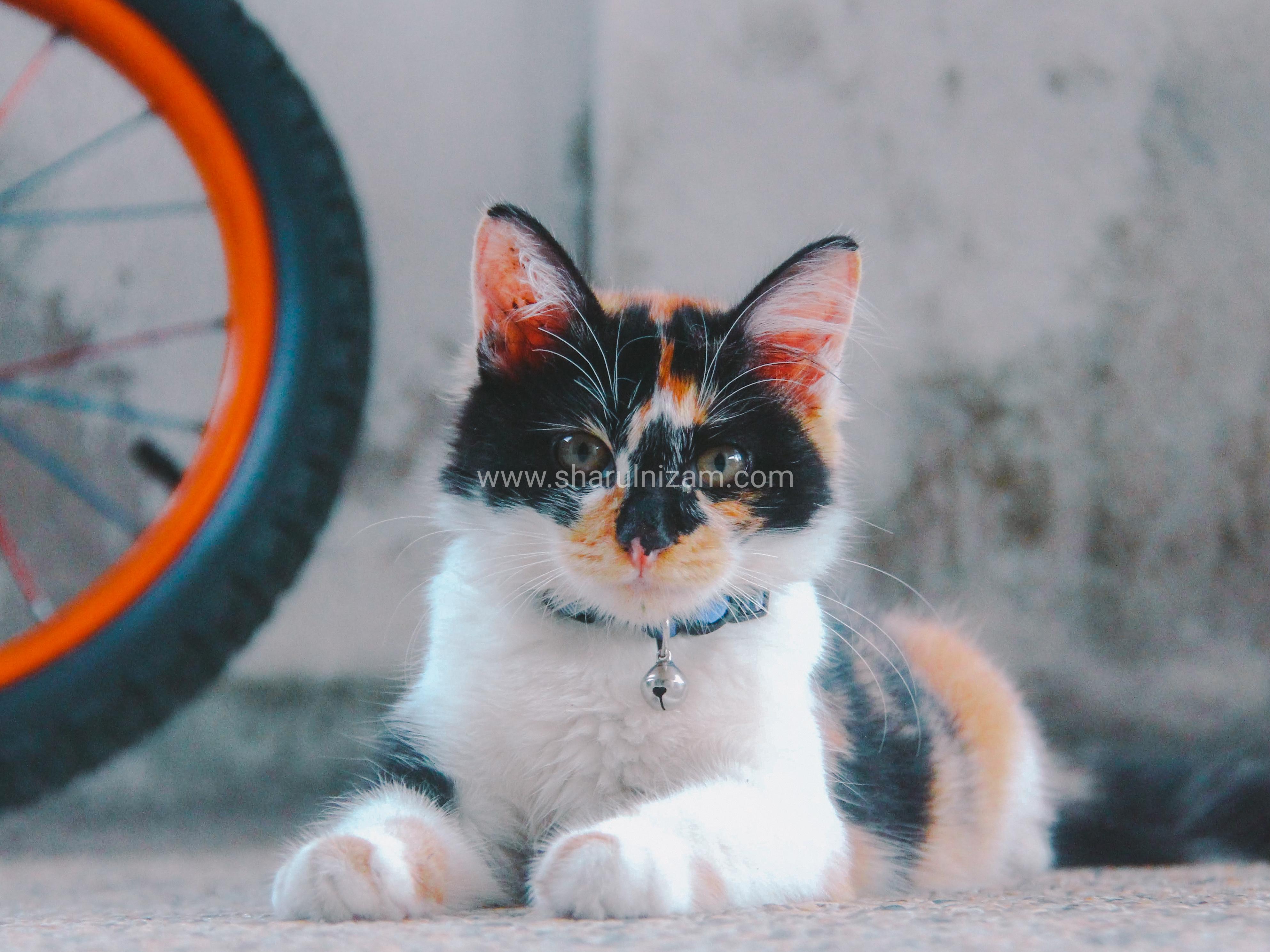 Koleksi Gambar Kucing Comel